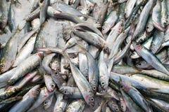 Множество замороженных рыб Стоковое фото RF
