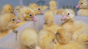 Множество заново насиженного младенца ducks юлить в пластичной коробке решетка фермы цыпленка младенца сверх Сельское хозяйство видеоматериал