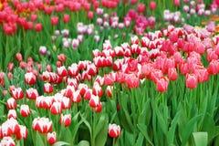 Множество красочных тюльпанов стоковое фото rf