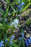 Множество маленьких голубых цветков на луге, крупного плана стоковая фотография