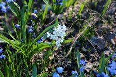 Множество маленьких голубых цветков на луге, крупного плана стоковые фотографии rf