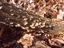 множество малого растущего грибка кронштейна осени на пне дерева леса деревянном Стоковое Фото