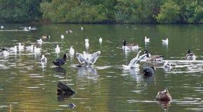 Множество на утках на вспышке pennington, фото принятом в Великобританию стоковое фото rf