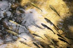 Множество рыб стоковые фотографии rf