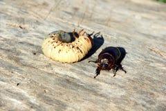 могут жук и своя личинка стоковое фото