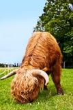 Могущественные скотины higland едят траву Стоковая Фотография