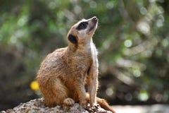 моделирование meerkat Стоковое Изображение