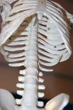 модельный скелет Стоковое Фото
