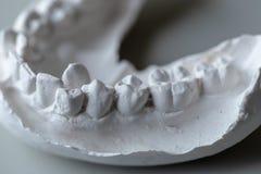 Модель зуба для образования в лаборатории стоковые фото