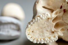 Модель зуба для образования в лаборатории стоковое изображение