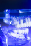 Модель зубоврачебных зубов клиническая Стоковое Фото
