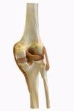 модель колена стоковые изображения