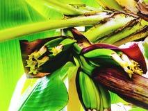 Мое банановое дерево Стоковое Фото