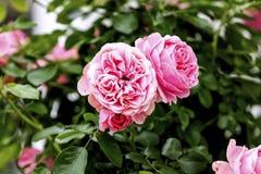 Мое розовое собрание Стоковое Изображение