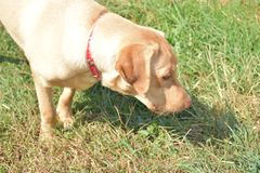 Мое dudley labrador любимчика в природе Стоковые Фото