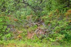 Можжевельник в лесе стоковое изображение rf