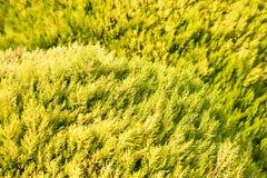 Можжевельник в солнечном свете стоковые фотографии rf