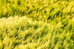 Можжевельник в солнечном свете стоковая фотография rf