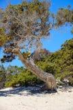 Можжевельник на необитаемом острове Chrissi, охраняемой территории, Греции стоковые изображения rf