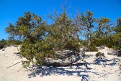 Можжевельник на необитаемом острове Chrissi, охраняемой территории, Греции стоковые фотографии rf