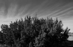 можжевельник bush Стоковые Изображения