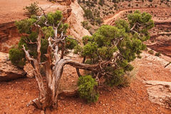 Можжевельник Юты на каньоне Shafer стоковые фото