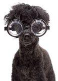 мозговитая собака очень Стоковые Изображения RF
