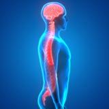 Мозг с анатомией спинного мозга Стоковые Фотографии RF