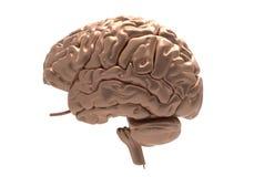 Мозг с маской клиппирования Стоковые Фотографии RF