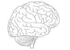 мозг Стоковое Изображение