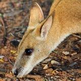 мозоль есть wallaby хлопьев Стоковые Фото