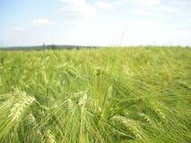 Мозоль/зерно вероятно молодая и зеленая деталь поля земледелия ячменя на последней весне Стоковые Изображения RF