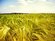 Мозоль/зерно вероятно молодая и зеленая деталь поля земледелия ячменя на последней весне Стоковые Фото