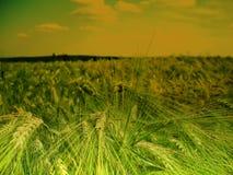 Мозоль/зерно вероятно молодая и зеленая деталь поля земледелия ячменя на последней весне Стоковая Фотография RF