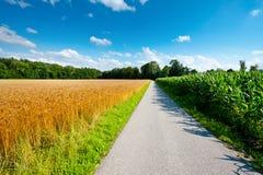 Мозоль и пшеница Стоковые Изображения