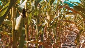 Мозоль образа жизни органического кукурузного поля сухая зрелая земледелие мозоль концепции жать земледелие натуральных продучтов сток-видео