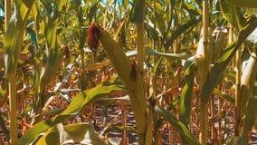 Мозоль органического кукурузного поля образа жизни сухая зрелая земледелие мозоль концепции жать земледелие натуральных продучтов сток-видео
