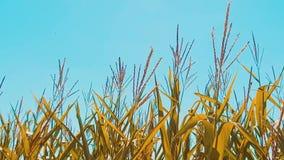 Мозоль органического кукурузного поля сухая зрелая земледелие мозоль концепции жать образ жизни натуральных продучтов земледелия акции видеоматериалы