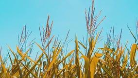 Мозоль органического кукурузного поля сухая зрелая земледелие мозоль концепции жать продукты образа жизни земледелия естественные сток-видео