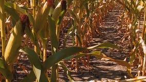 Мозоль органического кукурузного поля сухая зрелая земледелие мозоль концепции жать естественное земледелие продуктов образа жизн видеоматериал