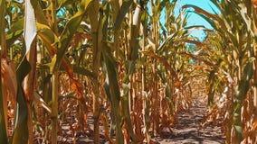 Мозоль органического кукурузного поля сухая зрелая земледелие мозоль концепции образа жизни жать земледелие натуральных продучтов видеоматериал