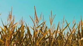 Мозоль органического кукурузного поля сухая зрелая образ жизни земледелия мозоль концепции жать натуральные продучты земледелия акции видеоматериалы
