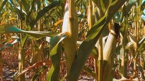 Мозоль органического образа жизни кукурузного поля сухого зрелая земледелие мозоль концепции жать земледелие натуральных продучто видеоматериал