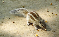 Мозоль еating hipmunk ¡ Ð на земле песка Стоковое Изображение