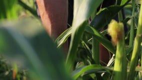 Мозоль рудоразборки фермера вручную и бросающ ее в деревянную коробку акции видеоматериалы