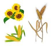 Мозоль, солнцецветы и пшеница Стоковая Фотография RF