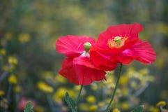 мозоль цветет красный цвет мака Стоковое Изображение