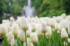 Мои первые разы в Европе, тюльпан Netherland Стоковое Изображение RF