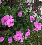 Мои розовые bicaries в утре стоковое фото rf