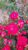 Мои розы стоковые изображения rf